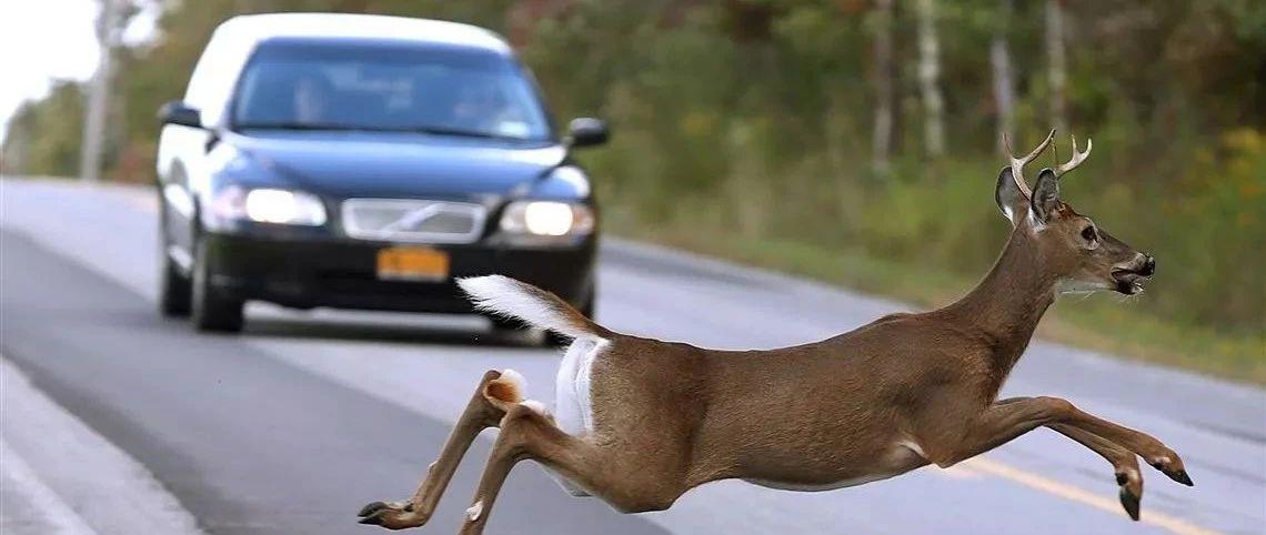北美野生动物遍地跑,美国人吃野味吗?